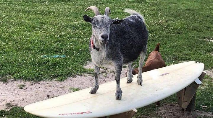 Goat On Surfboard